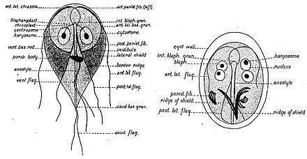 a protozoon paraziták gyógyítása