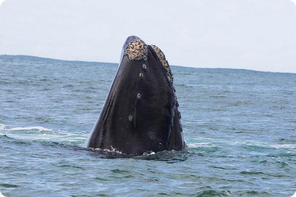 szemölcsök a bálnák bőrén)