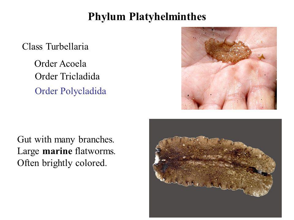 acoela vs platyhelminthes)