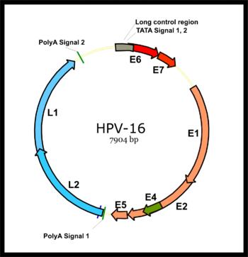 papillomaviridae genom)
