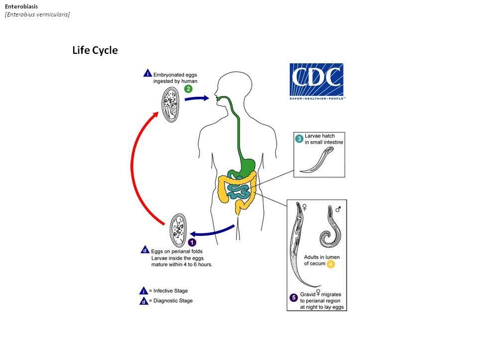 Az orsóférgesség okai, tünetei és kezelése Férgek kezelése berestinnel