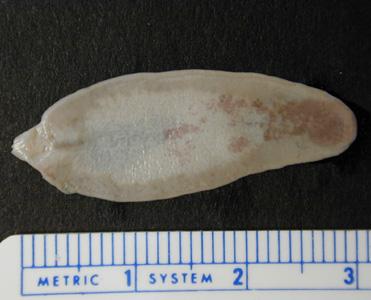 Giardia indonesia