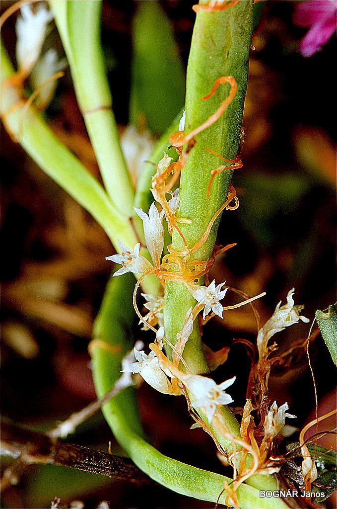 Helminthosporium oryzae rizs, Szisztémás gombaölő szer Propiconazol 95% TC, 15% 20% 25% EC