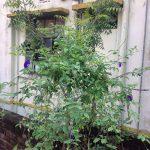 gardenia paraziták