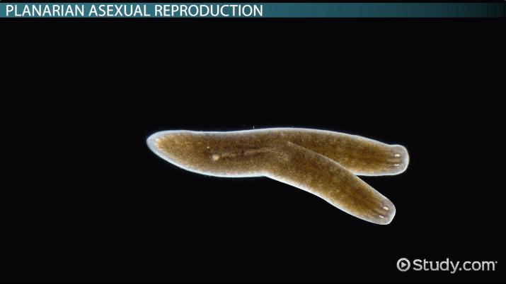 platyhelminthes planaria