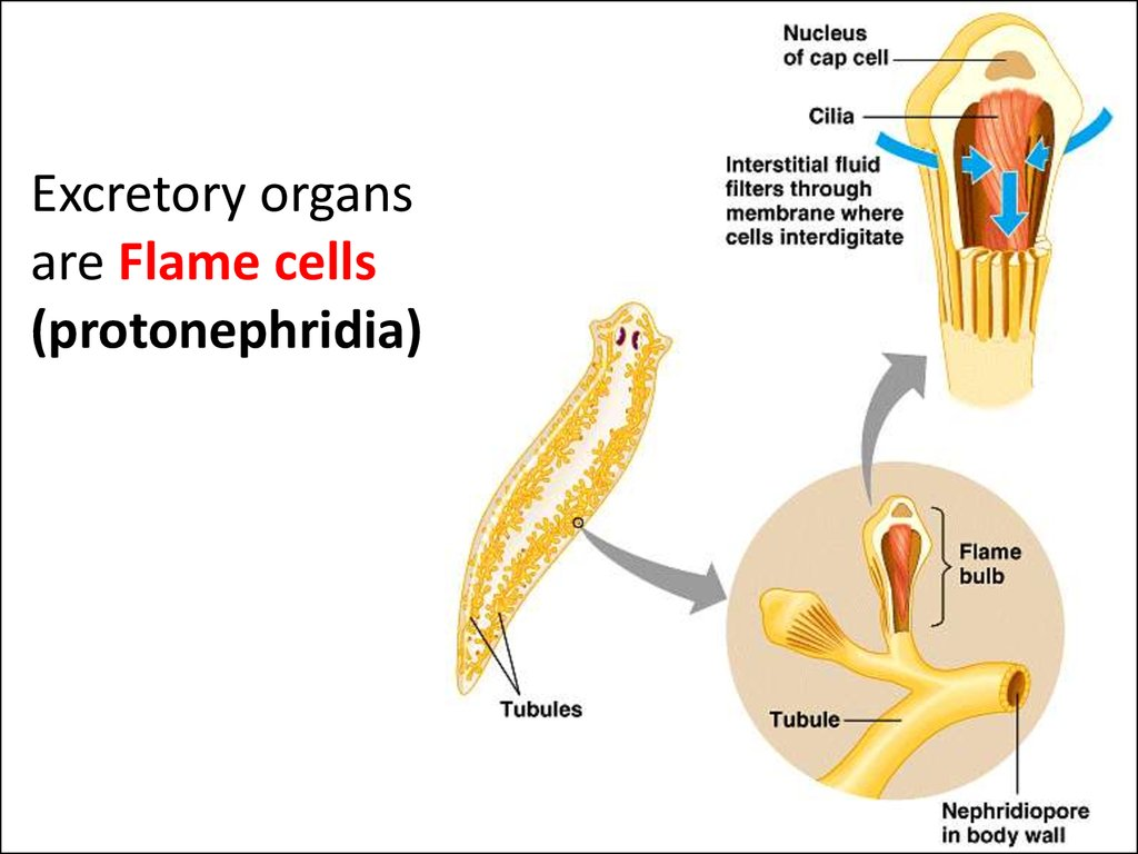 protonephridia platyhelminthes