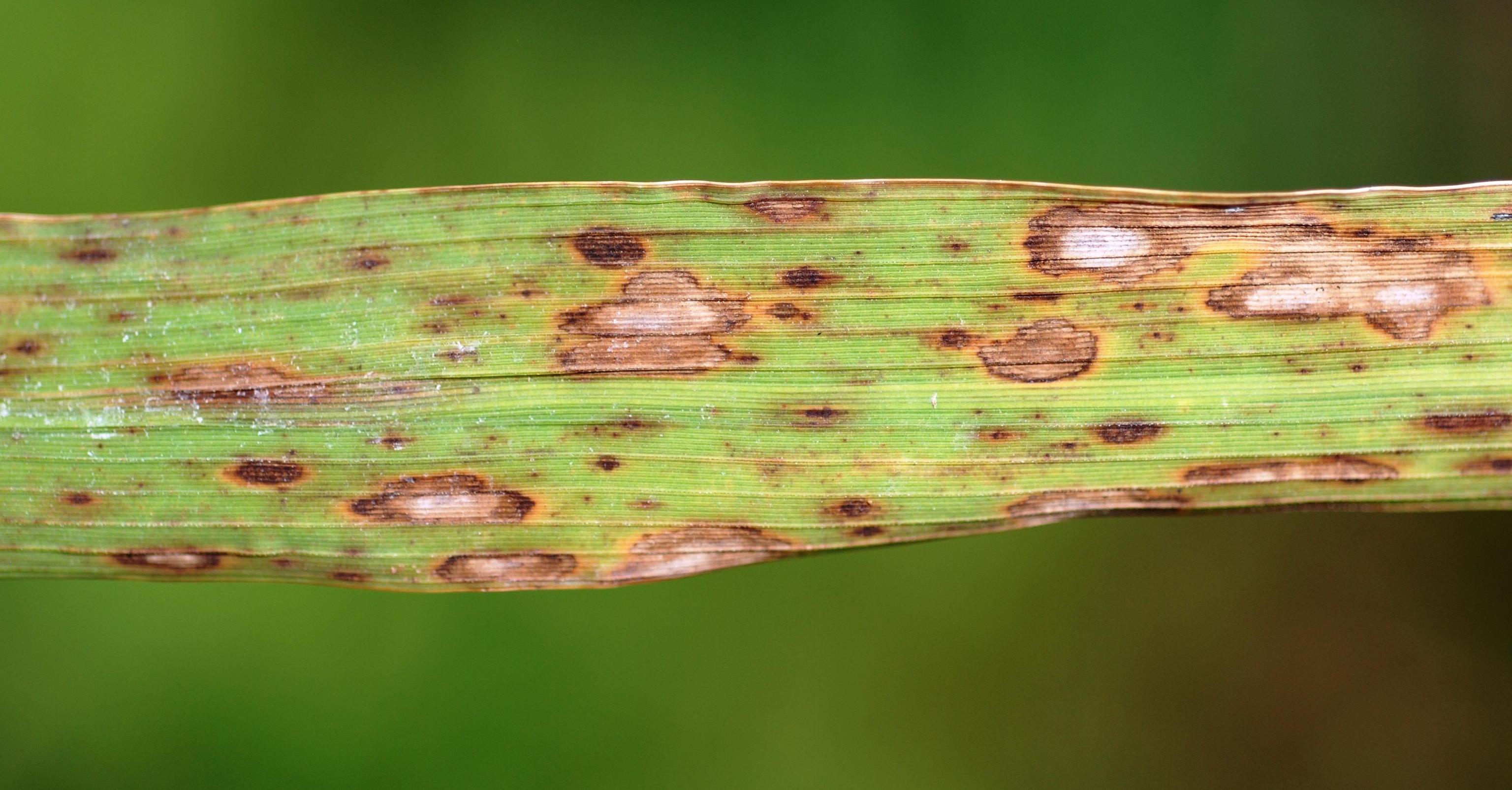 rizsben a helminthosporium oryzae férgek kezelése, amikor kijönnek