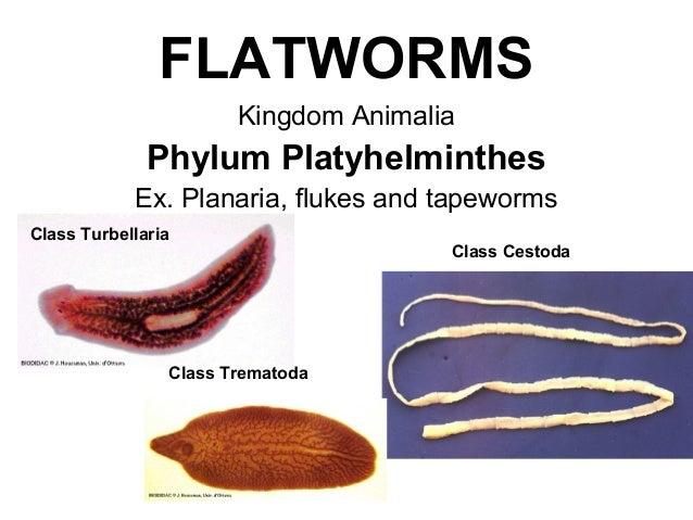 filum platyhelminthes tekercs turbellaria