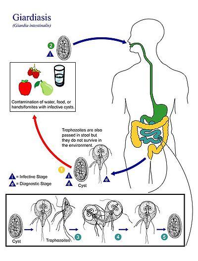 chiste giardia duodenalis acoela vs platyhelminthes