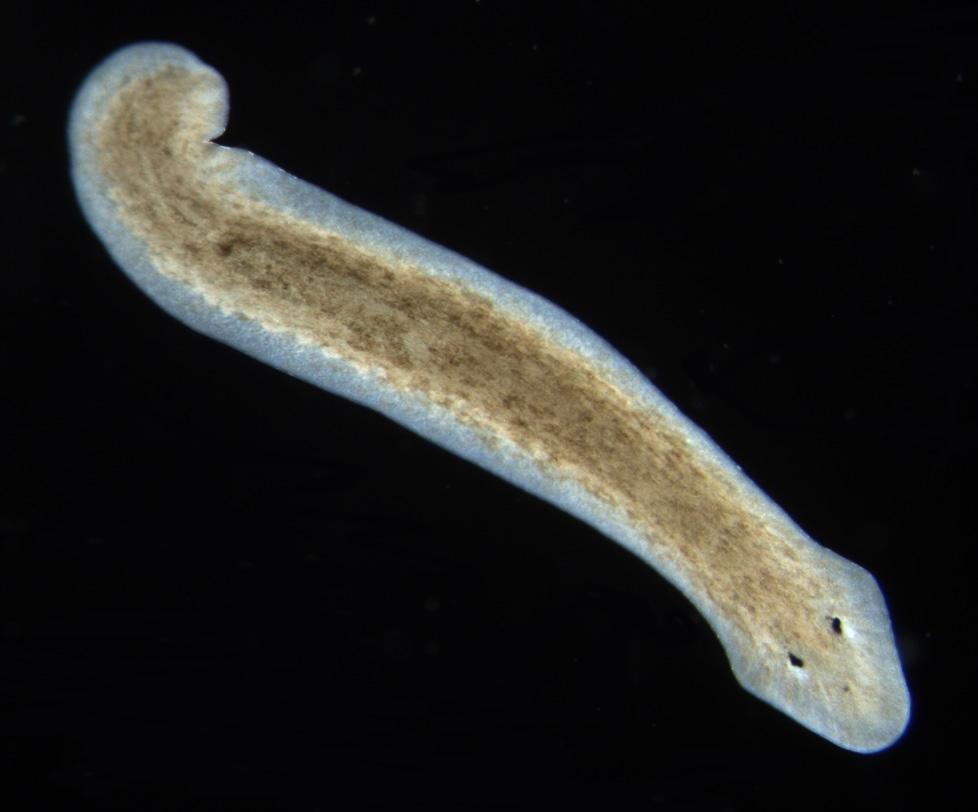 Platyhelminthes planaria cefalizáció,