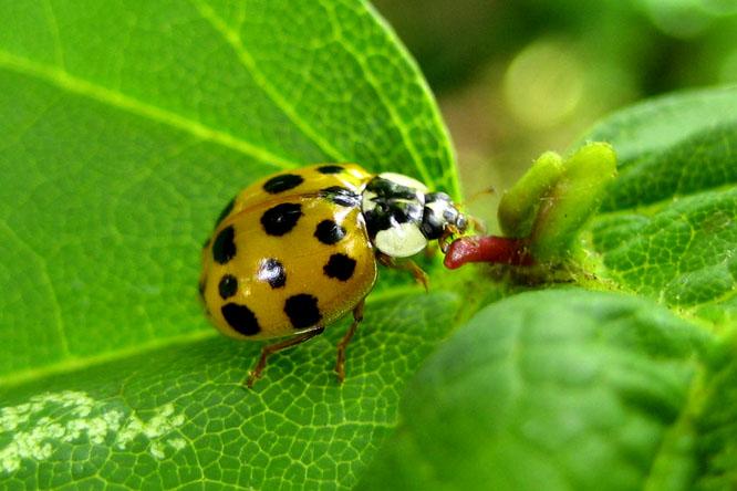 invazív fajok enterobiosis vizsgálat a kertben