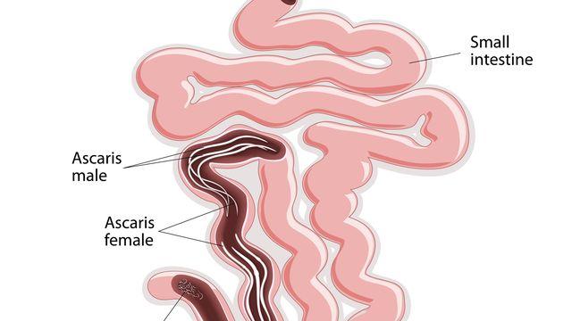 enterobius vermicularis ova kezelés)