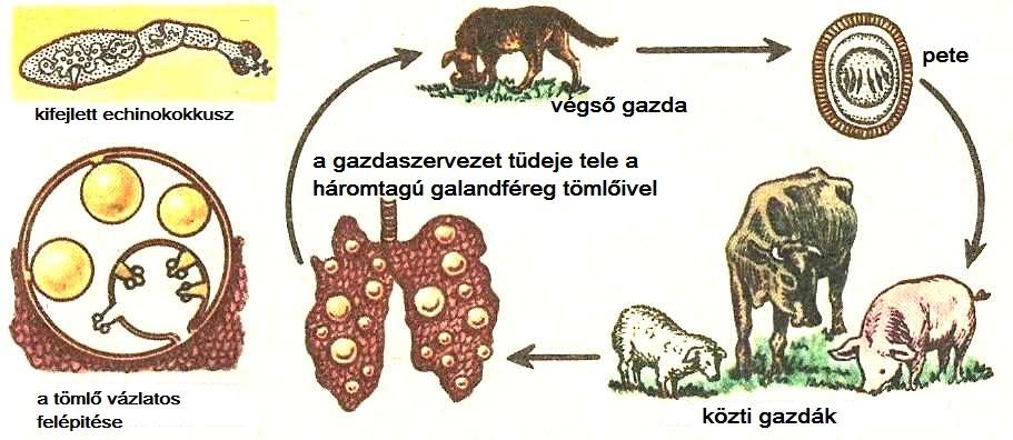 fonálférgek fejlődése)
