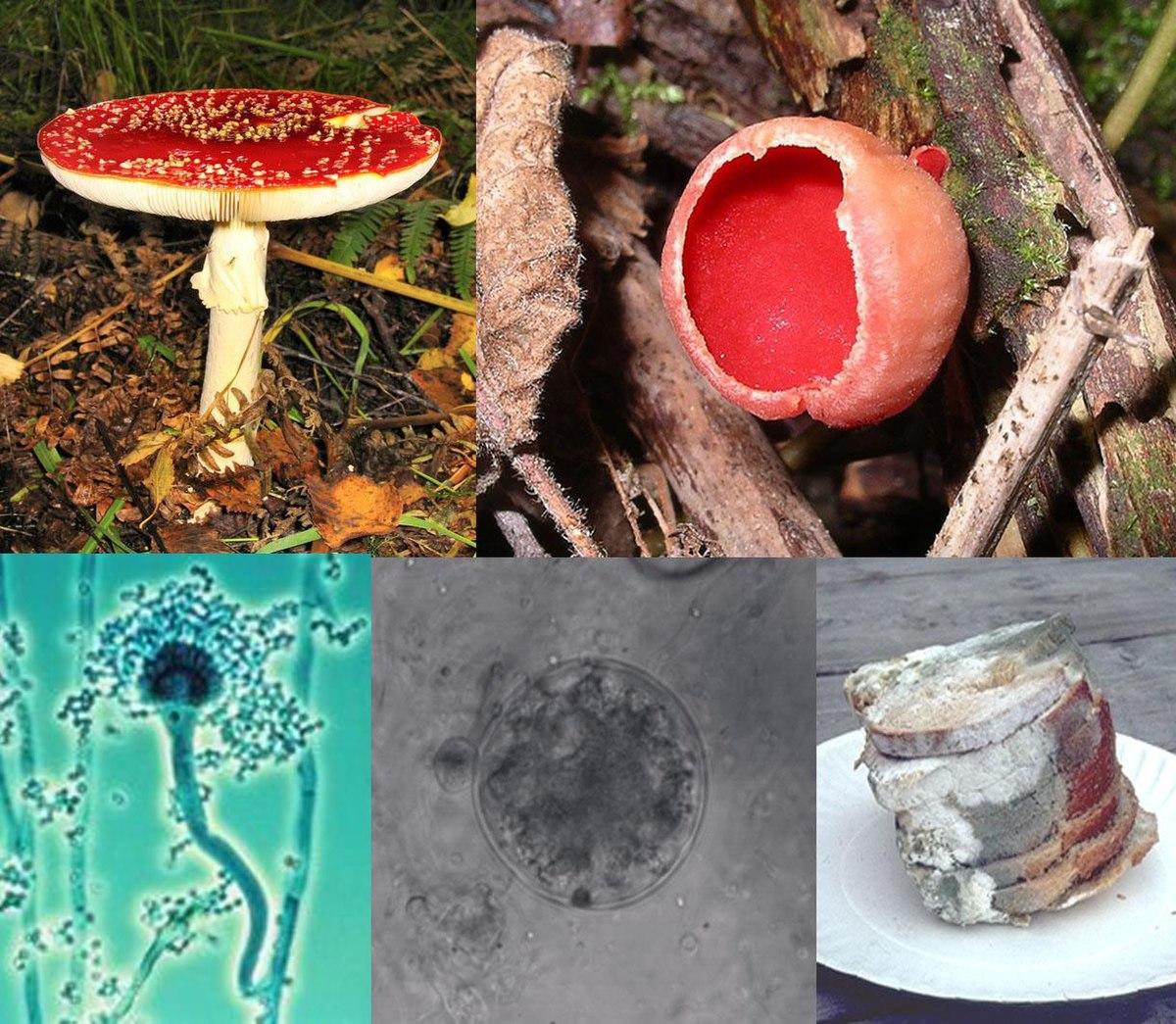 Gombás szaprobák vagy paraziták