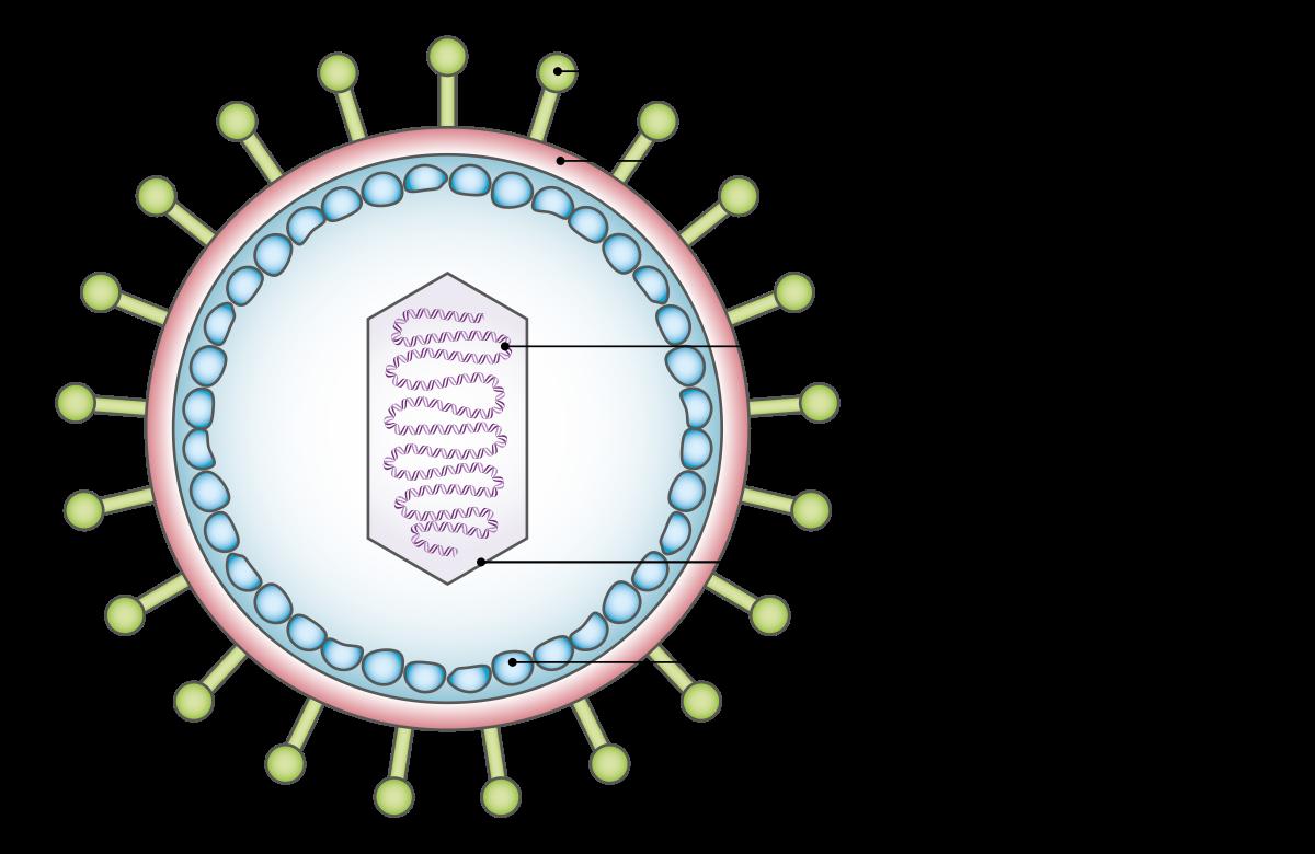 hpv vírus DNS vírus
