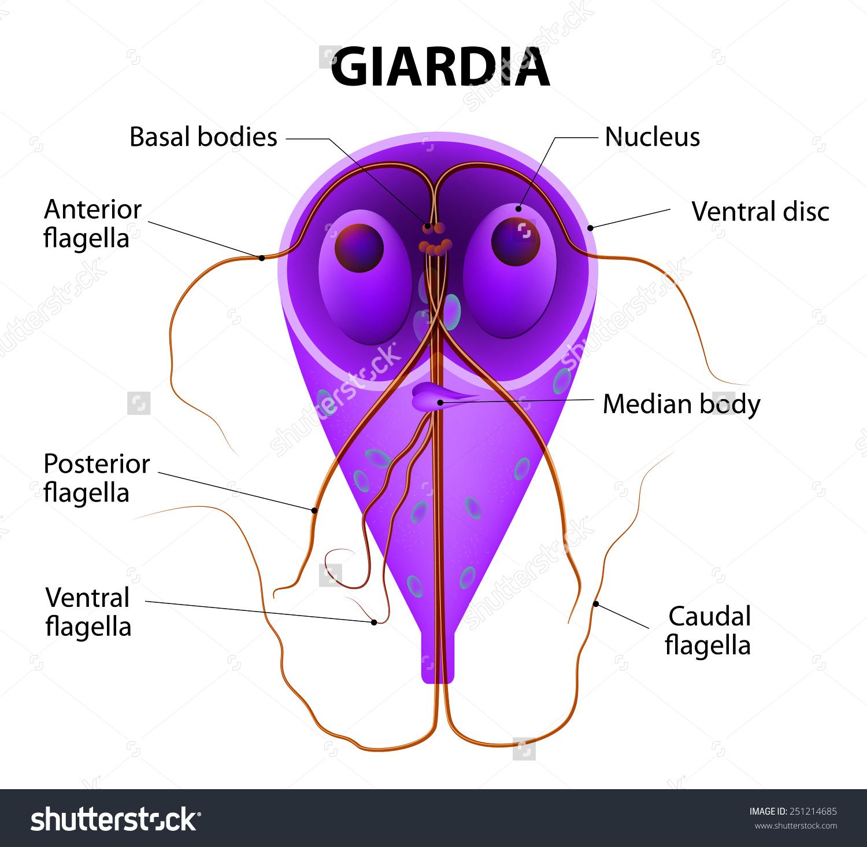 kerek rüh és giardia szemölcsök a nők kezelésére