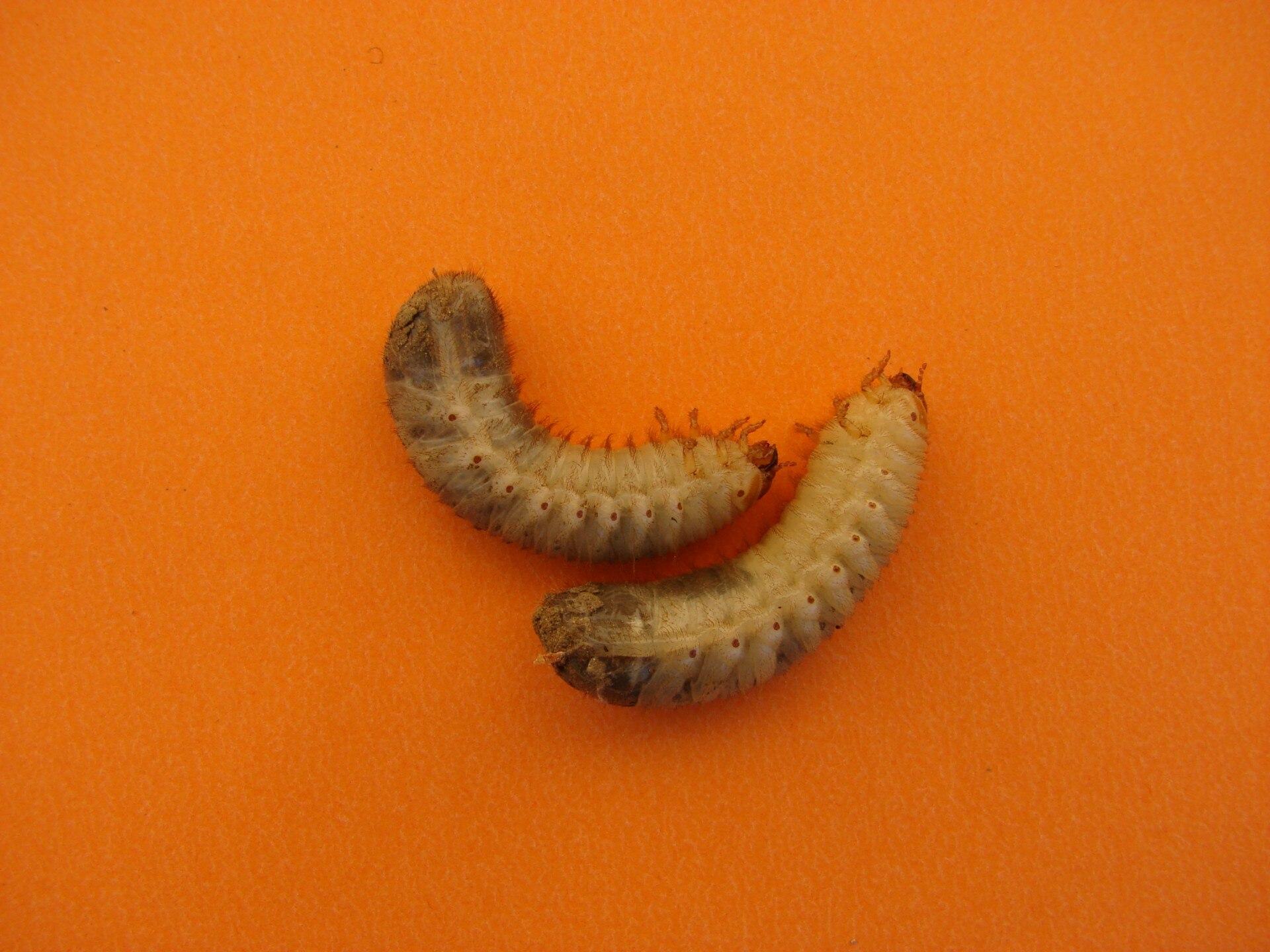 lárvákkal fertőzött lárva