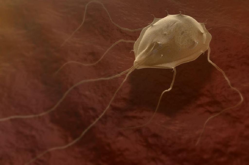 chisturi giardia lamblia felnőtt