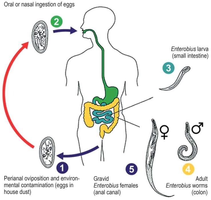 Hogyan fertőzött az enterobiasis és hogyan kezelik? - Kezelés October