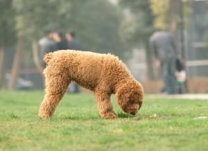 giardia hond vanzelf kártevő