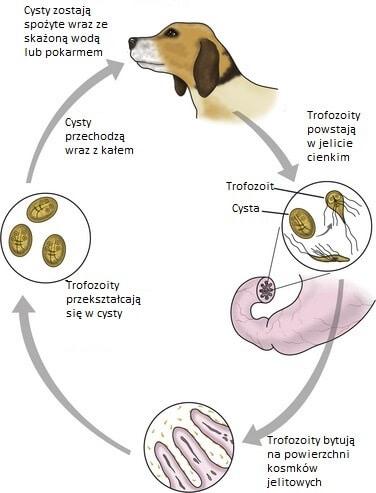 pasozyt giardia és psa objawy
