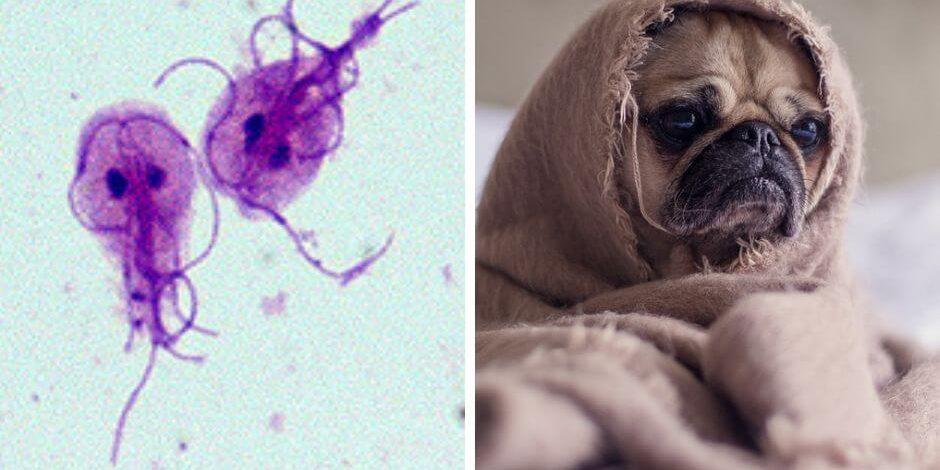 Giardia leczenie psa