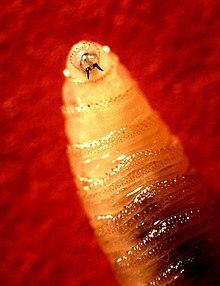 paraziták cohliomyia hominivorax