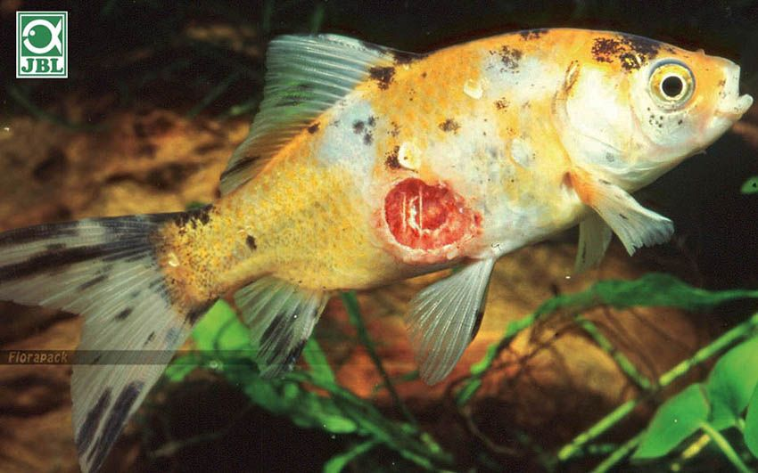 parazitákkal fertőzött halak)