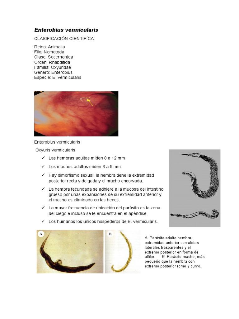enterobius vermicularis reino