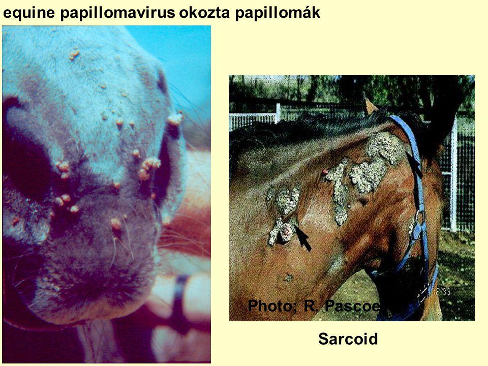 szarvasmarhák papilloma vírusa