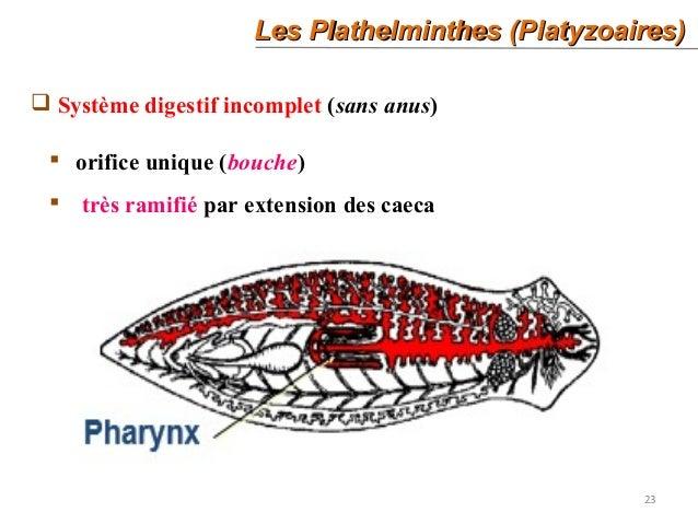 les plathelminthes ppt)