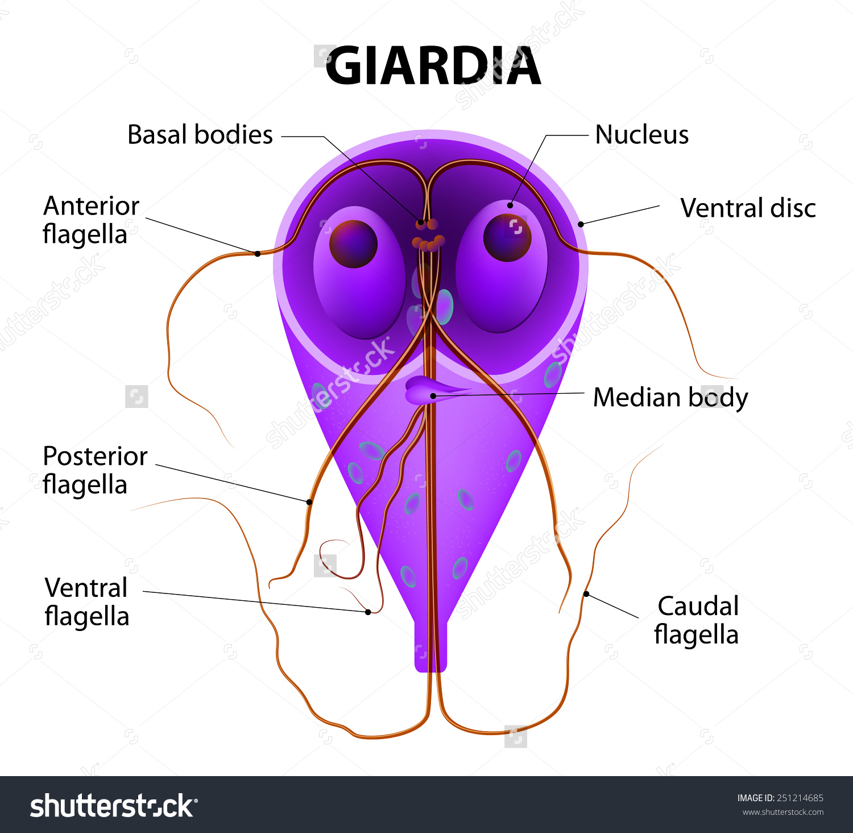 giardia epevezetékek)