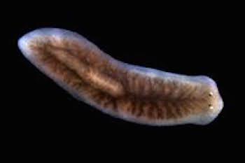 platyhelminthes planaria