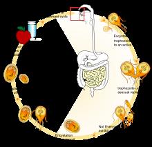giardia lambia baktériumok paraziták részletekben