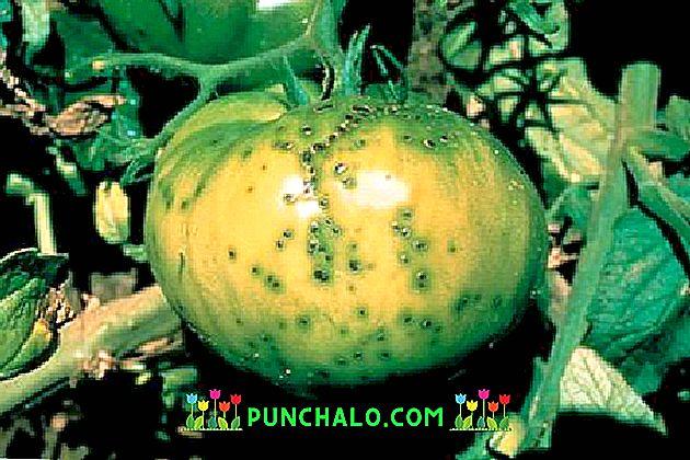 A paradicsomlevél göndörítése - okai, megelőzése, kezelése