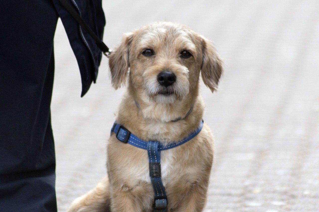 giardia hond mens