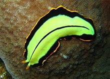 Platyhelminthes planaria kiválasztás - Laposférgek kültakarója és mozgása