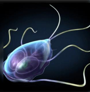 a paraziták a kerekférgek tünetei