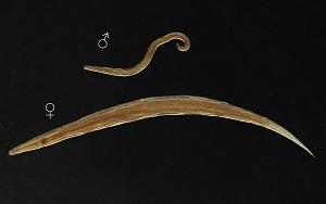 Pinworm ciklus