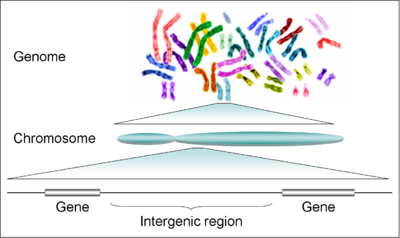 a körömféreg kromoszómáinak száma