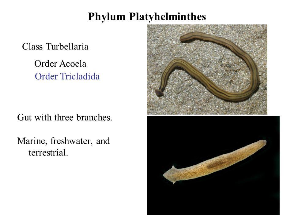 Acoela vs platyhelminthes. Acoela platyhelminthes.