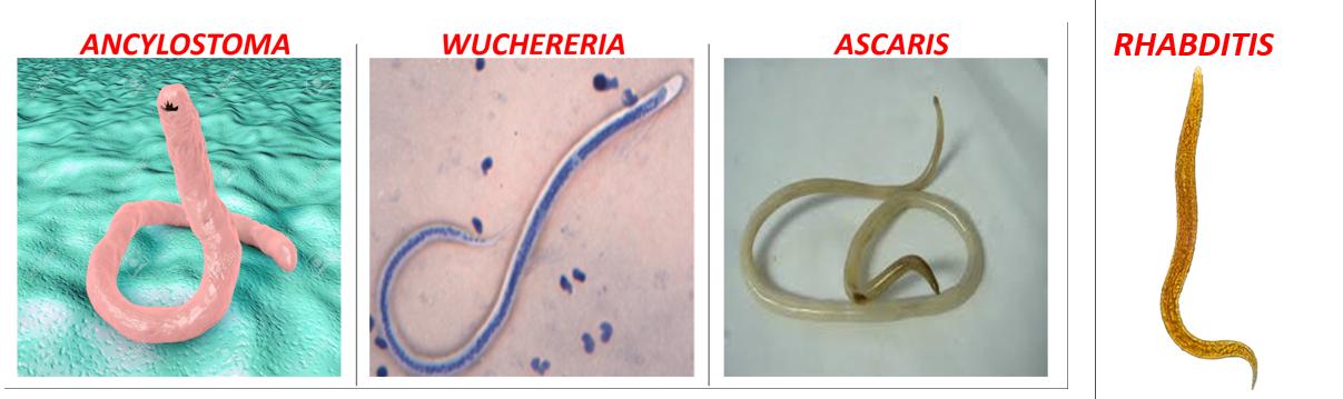 Aschelminthes jelentése - Állatrendszertani gyakorlatok | Digitális Tankönyvtár