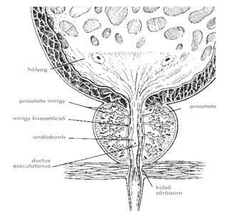 mi az emberi papillomavírus