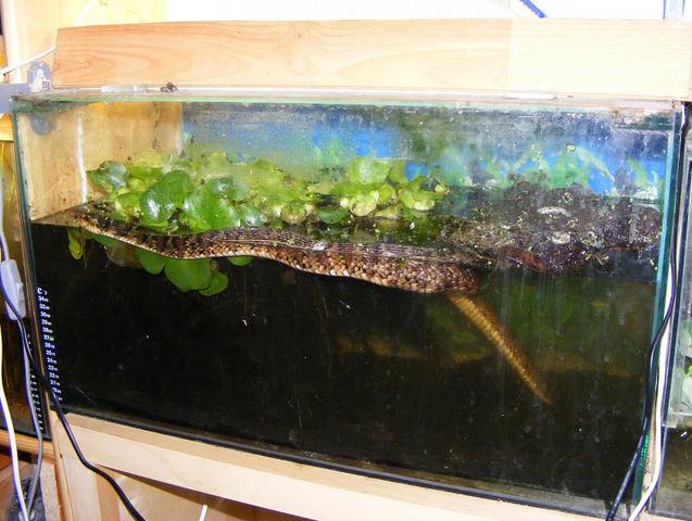 békák az akvárium falán féreghajtó ayurvédikus gyógyszerek
