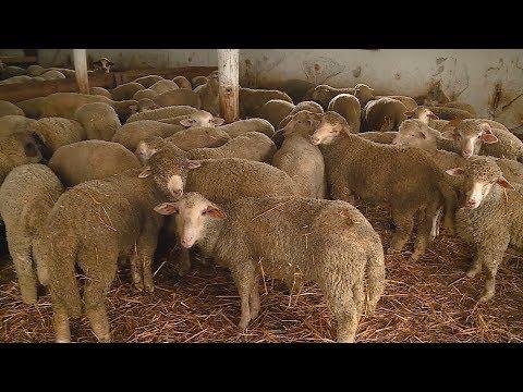 bárányok kezelése férgek ellen