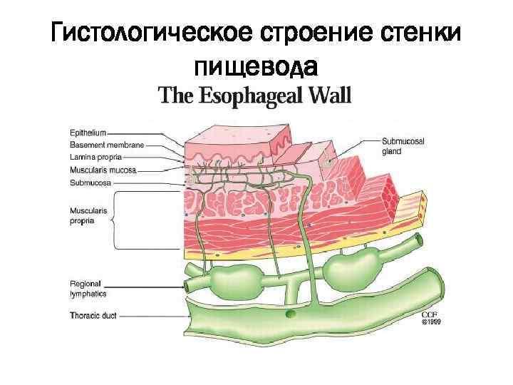 nyelőcső papillómák)