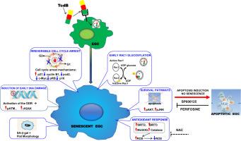 clostridium toxin b)