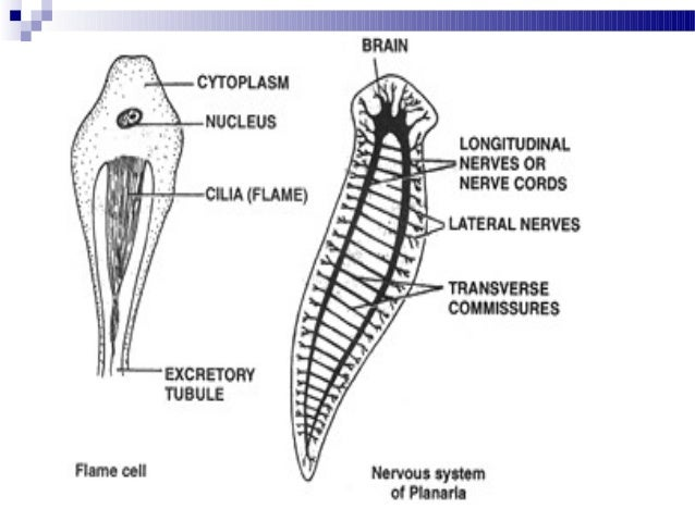 platyhelminthes filum reprodukciós rendszer)