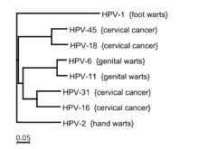 papilloma vírus 45)