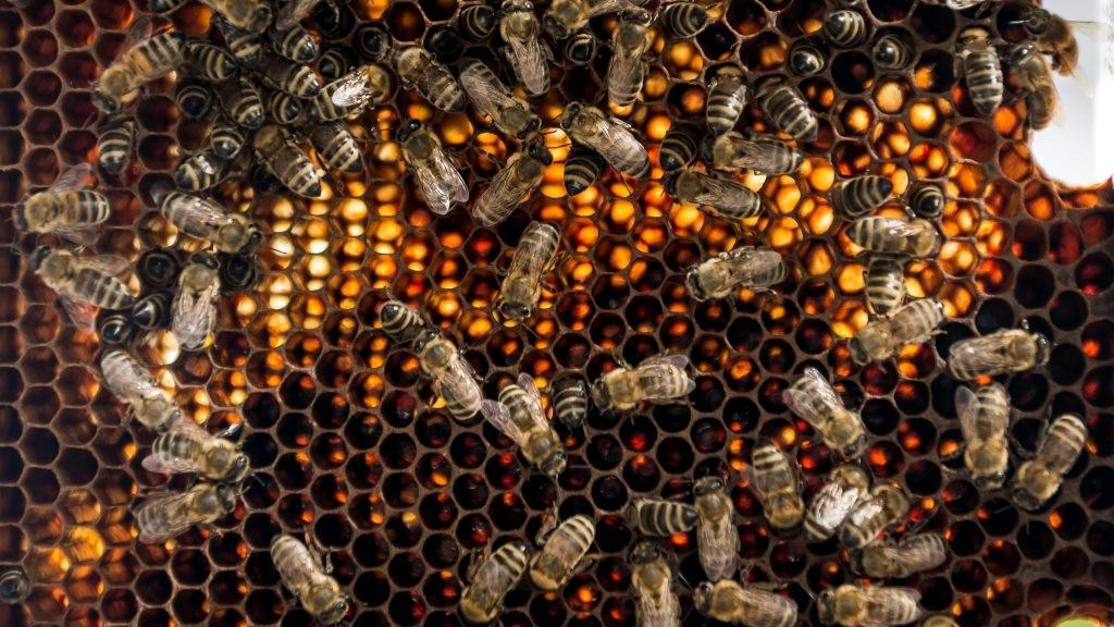 szélessávú méh paraziták kezelési szakaszai
